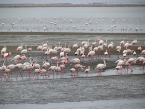 Flamingos everywhere! The white colored ones are the the