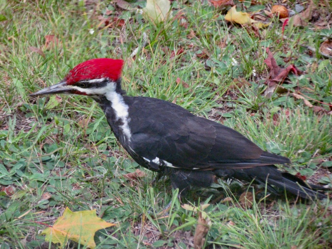 Pilated Woodpecker, Rockwood
